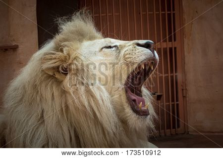 White Lion In A Zoo Cage.