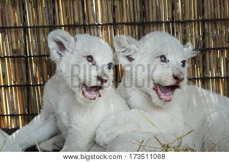 White Lion Cubs Born At The Zoo