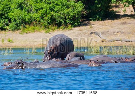 The concept of extreme and exotic tourism in Okavango Delta. Chobe National Park in Botswana. Huge herd of hippos  resting in cool waters of the river