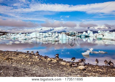 The concept of northern ecotourism. Several geese grazing on the coast of lagoon. Sunrise illuminates the glacier Vatnajokull and water of Ice Lagoon Jokulsarlon