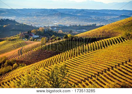 Vineyards in langhe region of northern italy in autumn with full bright colors