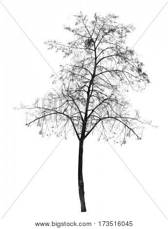 Bare tree without leaves. deciduous tree. Isolated over white background