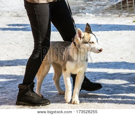 Husky puppy on a leash near to hostess