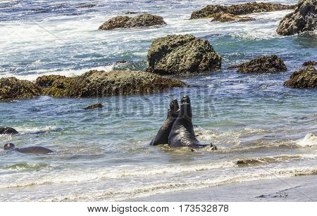 sealions fighting in the ocean at San Simeon