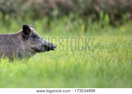 Wild boar in a clearing in the wild