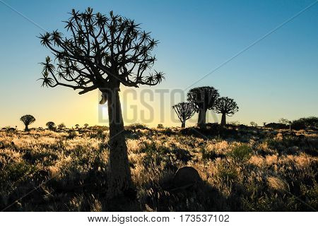Beautiful african sunset with silhouetted quivertrees and illuminated grassland. Namibia near Keetmanshoop.