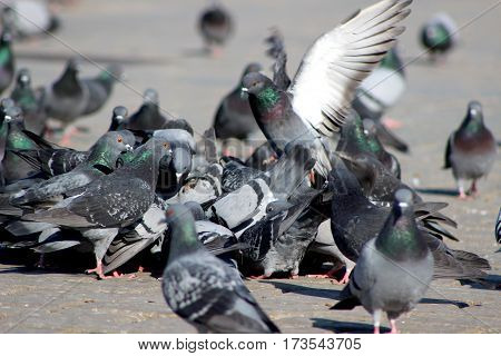 Pigeon, dove, dove on the road, gray pigeon closeup, city birds. Dove - a bird of peace