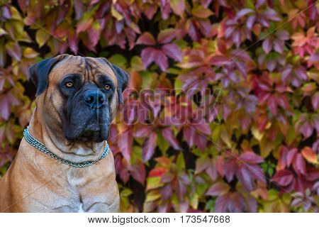 Eyes amber-colored.  Closeup portrait of a beautiful dog breed South African Boerboel on the background of autumn grape leaves. South African Mastiff.