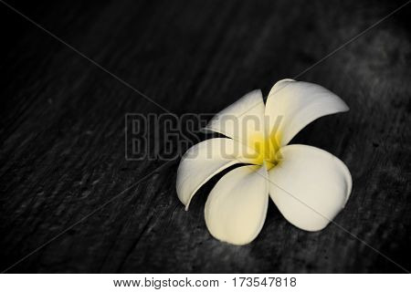 White and yellow Frangipani flowers on floor