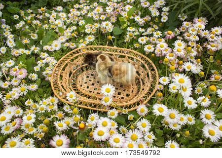 spring daisies in a basket among young chicks born
