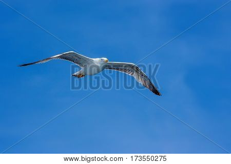 Free seagull hovering in the sky. Embodiment of freedom.