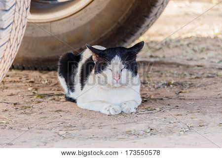 The White and black cat crouched under cars