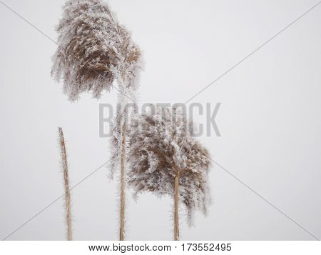 reed, poaceae, grass growing  next to a pond in the aquatic environment