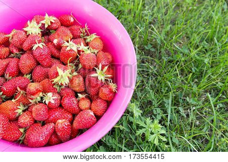 strawberries in a bowl on the pink grass