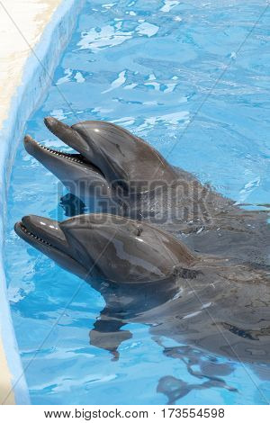 two dolphins in pool with blue water