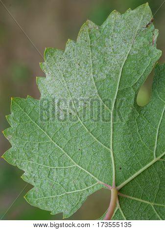 Closeup of vine grape leaf affected by Downy Mildew (Plasmopara vitikola)