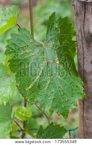 Closeup of vine grape leaf affected by anthracnose grape canker (Phomopsis viticola). Fungal disease of grapes