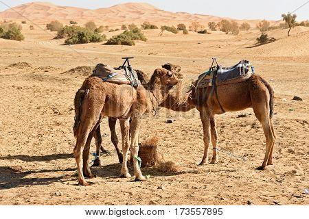 Camels eat hay. Erg Chebbi Sand dunes in Sahara Desert near Merzouga Morocco
