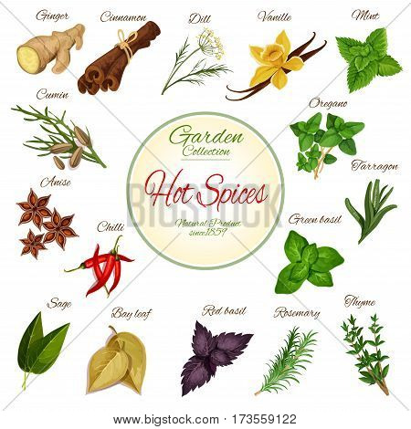 Hot spice and condiment poster with chilli pepper, ginger, cinnamon, basil, anise and mint, rosemary, vanilla, cumin, thyme and oregano, dill, bay leaf and sage, tarragon. Herbs for spice shop design