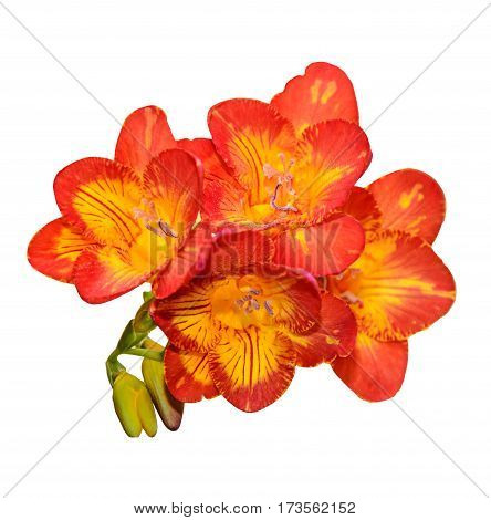 Purple With Yellow Freesia Flower, Green Buds, Isolated On White Background