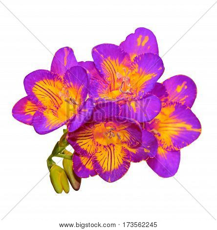 Mauve With Yellow Freesia Flower, Green Buds, Isolated On White Background