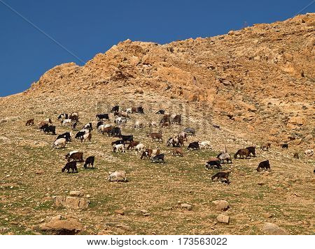 Herd of Bedouin sheep and goats in the desert on a hill with clear sky background