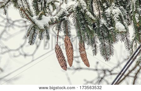 Green Branch With Brown Pine Cones, Ice And Snow In Winter Time
