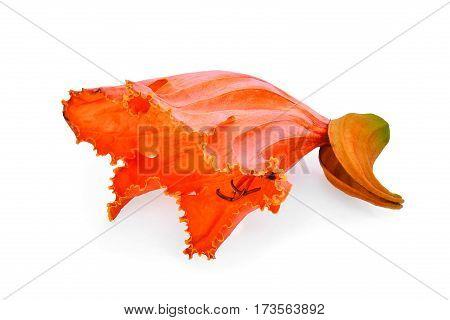 orange flower(Spathodea) isolated on the white background