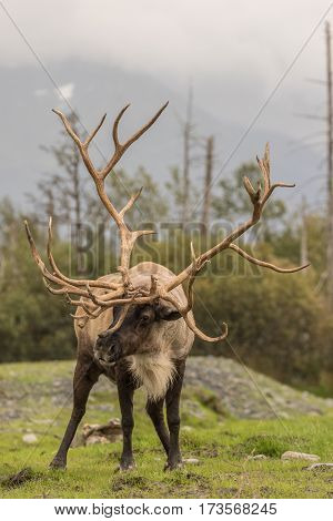 a huge barren ground caribou bull in Alaska