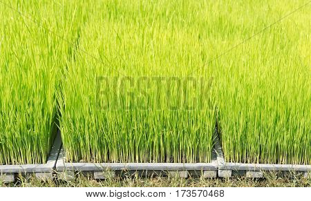 Close up green color rice sprouts on plastic tray
