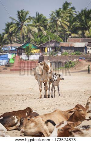 Anjuna Beach Famous Tourist Destination, Goa, India