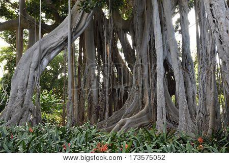 Root system of a big Ficus macrophylla in botanical garden in Puerto de la Cruz Tenerife Spain.