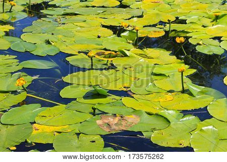 Yellow water flowers (Nuphar Lutea) in a lake