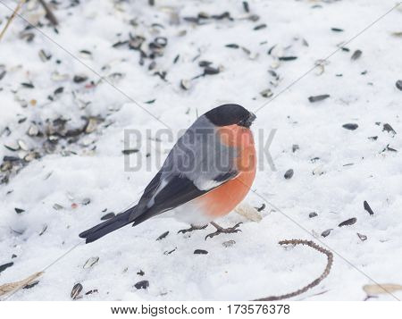 Red-colored Male of Eurasian Bullfinch Pyrrhula pyrrhula close-up portrait on snow selective focus shallow DOF