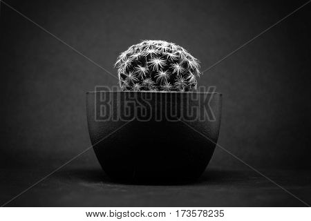 Closeup of small Cactus in pot Black and white tone