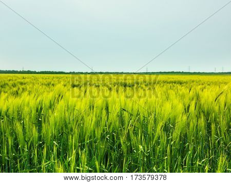 Wheat Field Waves Moved by Summer Wind on a bright sunny summer day Nature