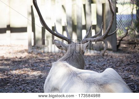 Close up of the antlers on a white elk's head