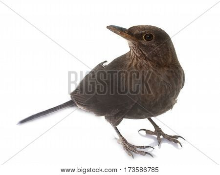 female Common blackbird in front of white background