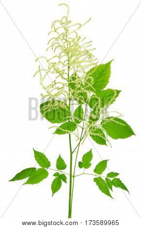 Blooming Aruncus dioicus isolated on white background