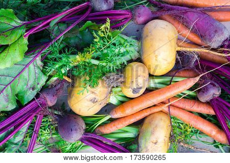 Freshly harvested vegetables (beetroot, turnip and carrot), top view