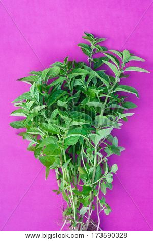 Fresh mint herb over purple background, top view
