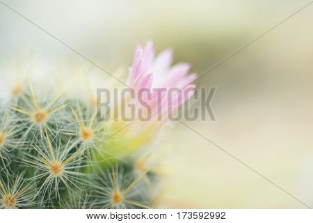 Beautiful pink cactus flower blooming as background