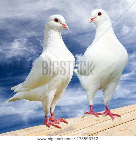 Two white pigeon on perch with cloudy sky imperial pigeon ducula