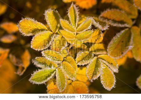 Beautiful and yellow colored autumn leaves frosted