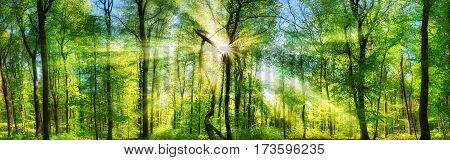Scenic forest of fresh green deciduous trees with the sun casting its enchanting rays through the foliage panoramic landscape shot