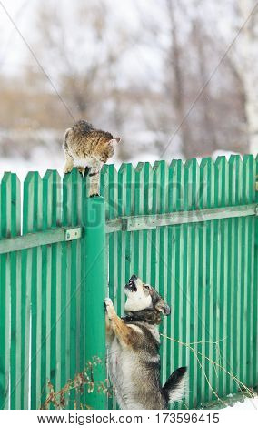 angry dog chased the cat on a high wooden fence