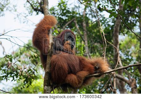 Dominant male orangutan on a tree in the jungle of Sumatra