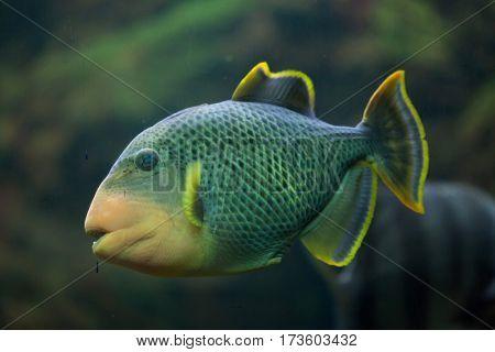 Yellowmargin triggerfish (Pseudobalistes flavimarginatus). Marine fish.