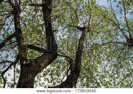 poplar deciduous tree view from under nature