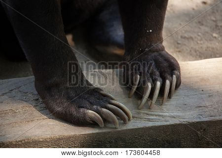 Malayan sun bear (Helarctos malayanus) claw.